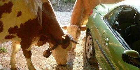 Mucche e Auto