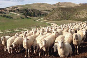 pecore dei Monti Sicani