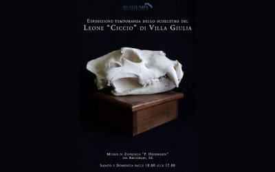 """Proteste per l'esposizione dello scheletro del leone """"Ciccio"""" al Museo """"Doderlein"""""""